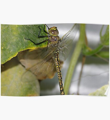 The dragon fly Poster