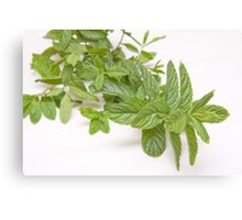 fresh mint on white(Mentha) Canvas Print