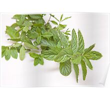 fresh mint on white(Mentha) Poster
