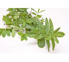 fresh mint on white(Mentha) Photographic Print