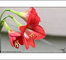 Lilly _ Red  by HamimCHOWDHURY