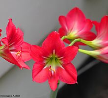Love Lilly  by HamimCHOWDHURY