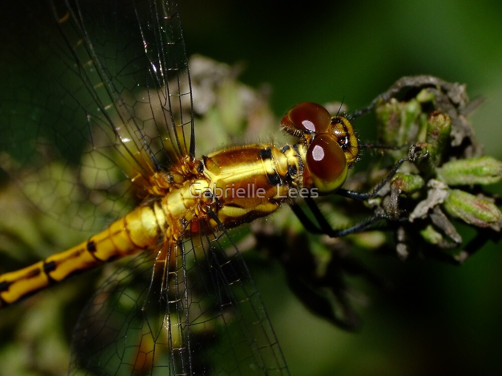 Golden Dragon! by Gabrielle  Lees