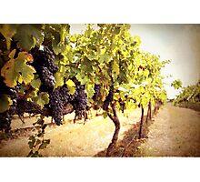 Vintage Vines Photographic Print