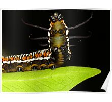 By Crikey, it's a Rearing Caterpillar! Poster