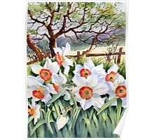 Narcissi in a field Poster