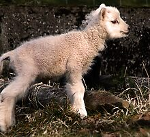 Spring Lamb by Country  Pursuits