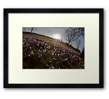 Crocus sunset Framed Print