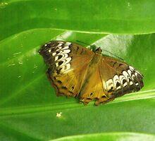 Butterfly by Kymbo