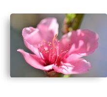 Pink peach blossom in macro Canvas Print
