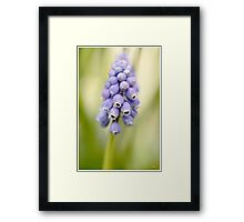 Grape Hyacinth Framed Print
