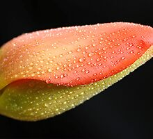 Tulp by Hetty Mellink