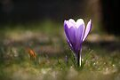 Backlit crocus by SylBe
