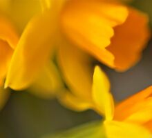 Daffodils for my baby by Sonia de Macedo-Stewart