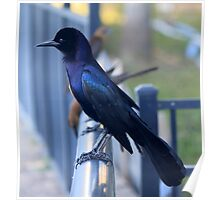 Male Boat-Tailed Grackle Poster