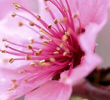 peach blossom 1 by Michael McCasland