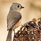 tufted titmouse 23_2011 by leftysphotos