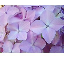 Hydrangea Flowers Gardens art prints Baslee Troutman Photographic Print