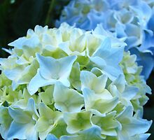 Beautiful Blue White Hydrangea Flower art prints Baslee Troutman by BasleeArtPrints