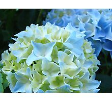 Beautiful Blue White Hydrangea Flower art prints Baslee Troutman Photographic Print
