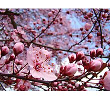 Spring Trees Landscape Pink Blossoms Blue Sky Photographic Print