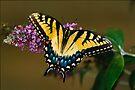 Tiger Swallowtail by Joe Elliott