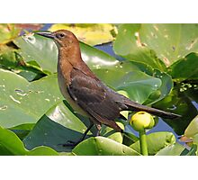 Female cowbird in the lilies Photographic Print