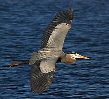 031611 Great Blue Heron by Marvin Collins