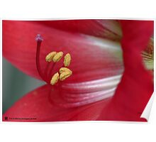 Lilly _ Red -Pollen Poster