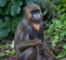Mandrill by Tom Newman