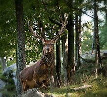 Red Deer by Michael Cummings