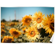 Yellow Sunflowers Macro Poster