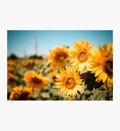 Yellow Sunflowers Macro Photographic Print