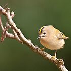 Gold Crest -Regulus regulus by Sue Earnshaw