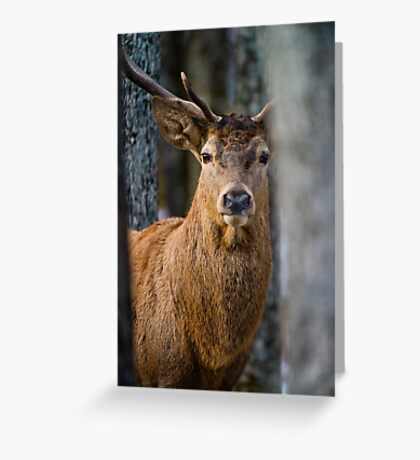 Bull Red Deer Greeting Card