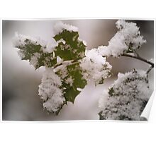 snow covered holly leaves Poster