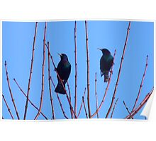 double starling Poster
