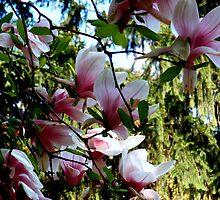 Japanese Magnolia by sstarlightss