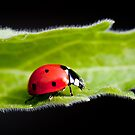 Ladybug walking on a leaf by Jérôme Le Dorze
