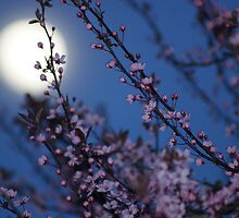 Cherry Blossom Moon by pix-elation