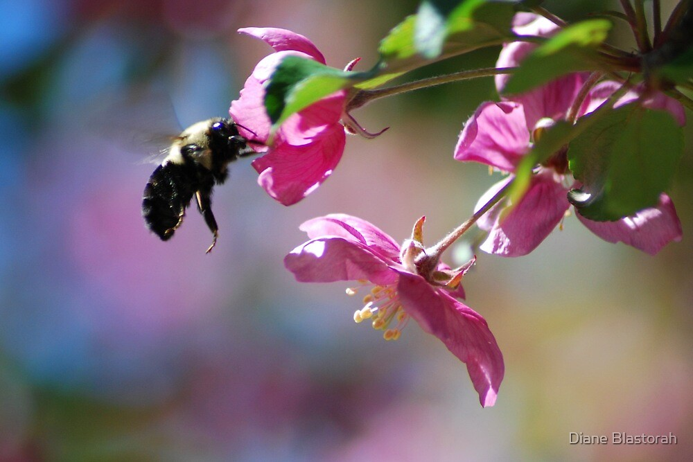 Bumble Bee on a Blossom by Diane Blastorah