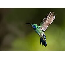 Green Violetear Photographic Print