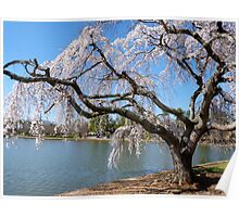 Weeping Willow in Bloom  Poster