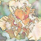 apricot iris by dabadac