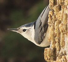 Sweet Little Nuthatch by lorilee