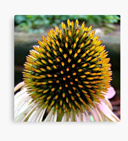 Cone Flower~ Canvas Print