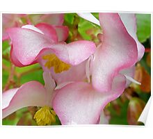 Begonia - Dainty Lady Poster