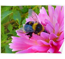 Bumble Bee on Dahlia - Delectable  Poster
