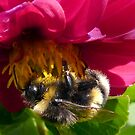 Bumble Bee on Dahlia - Polonaise by ArundelArt