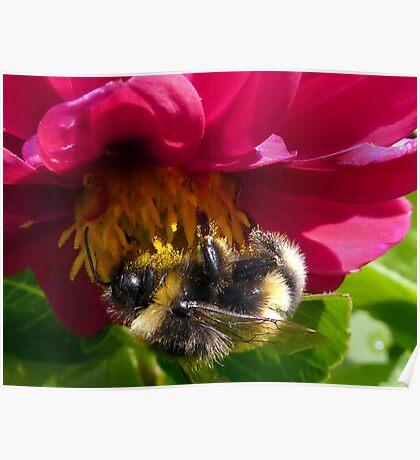 Bumble Bee on Dahlia - Polonaise Poster